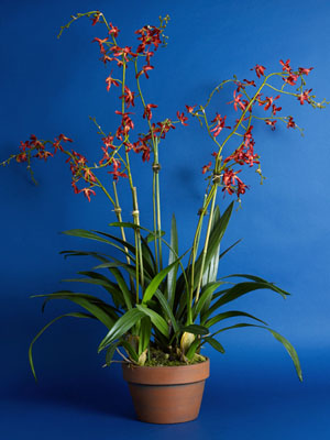 Dancing Red Orchids